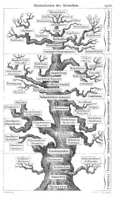 Ett av Haeckels stamträd över människans utveckling