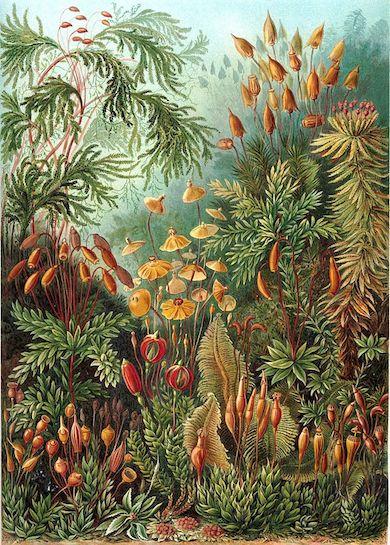 Haeckel Muscinae - Konstformer i naturen (1904)