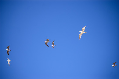 Sjöfåglar fiskmåsar (Free stockphoto)