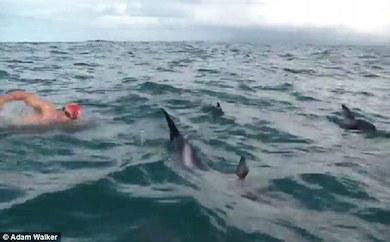 Adam Walker fick sällskap av delfiner när han simmade över Cook Strait i Nya Zeeland