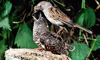 Gökunge matas av lurad småfågelmamma