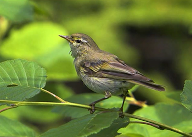 Lövsångaren. Sveriges vanligaste flyttfågel med övervintring i Afrika