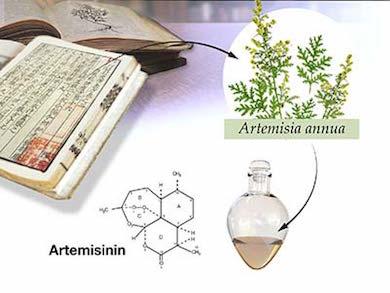 Youyou Tu letade i gamla örtmedicinrecept efter uppslag för att utveckla nya terapier mot malaria. Växten Artemisia annua dök upp som en intressant kandidat och Tu utvecklade en reningsmetod, som ledde fram till identifieringen av den aktiva komponenten, Artemisinin är ett mycket effektivt läkemedel mot malaria.