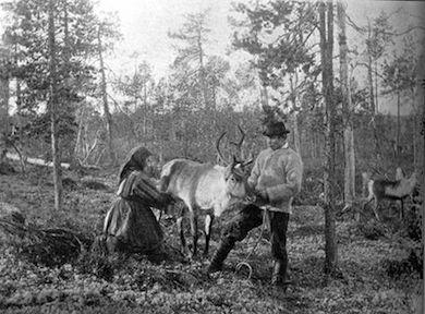 390px-Reindeer_milking