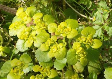 Guldpudran växer ofta vid källor.
