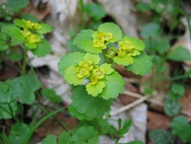 Chrysosplenium_alternifolium