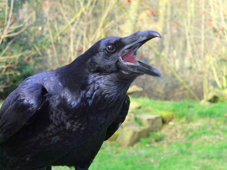 Raven_croak