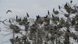 Hur kan en skadefågel som tar död på Nordens miljö fridlysas och skyddas?