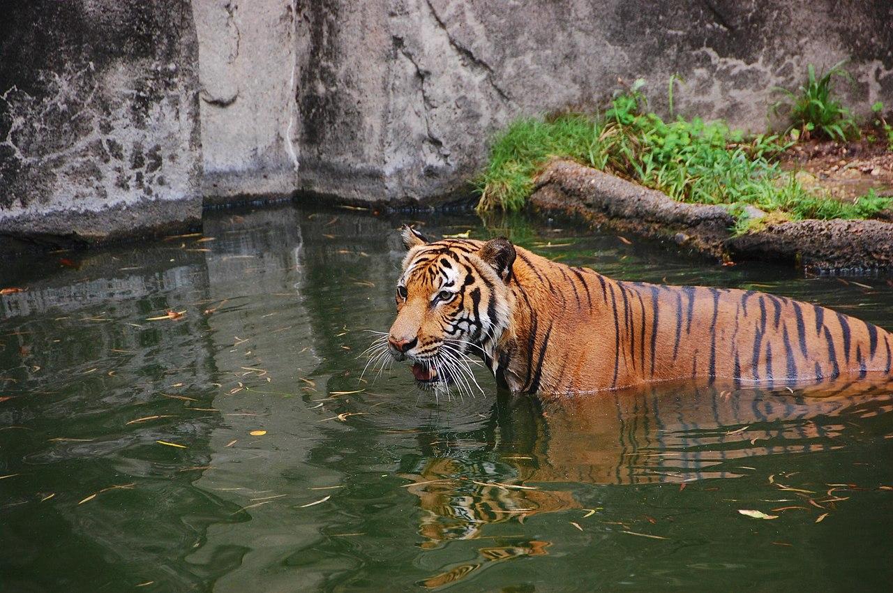 Tiger Houston Zoo 2007-08-31 Wikimedia Commons