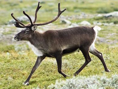 390px-20070818-0001-strolling_reindeer