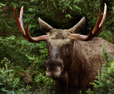 Älgtjur med grenhorn. Foto: Malene Thyssen (wikicommons)