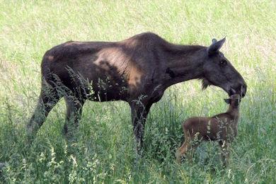 Älgko med kalv. Foto Oliver Abels. (wikicommons)