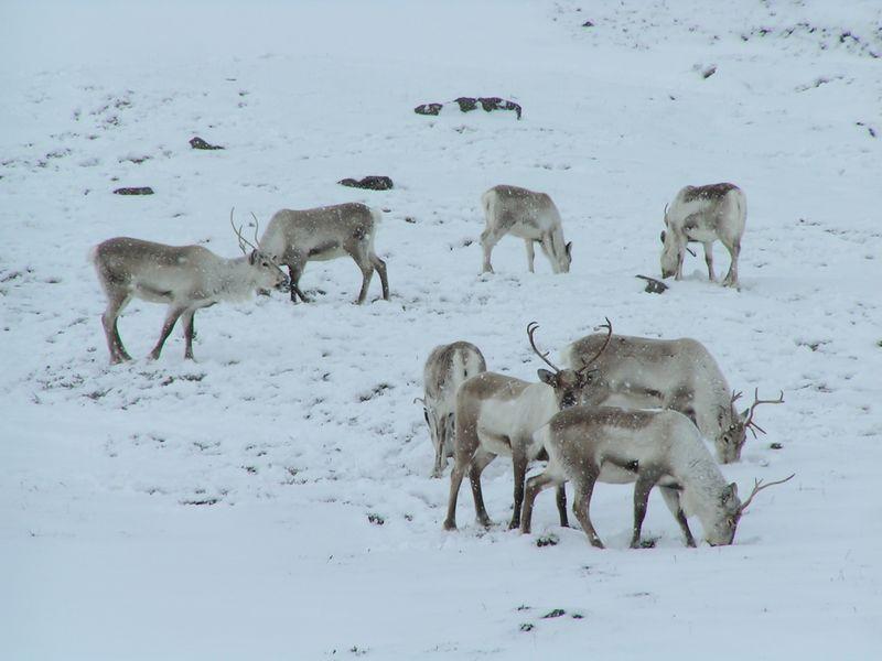 800px-tristanf_reindeer_budareyri_1