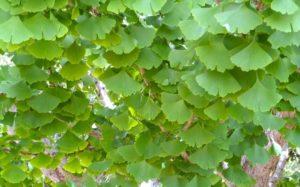 Ginkgo biloba – hoppets och fredens träd