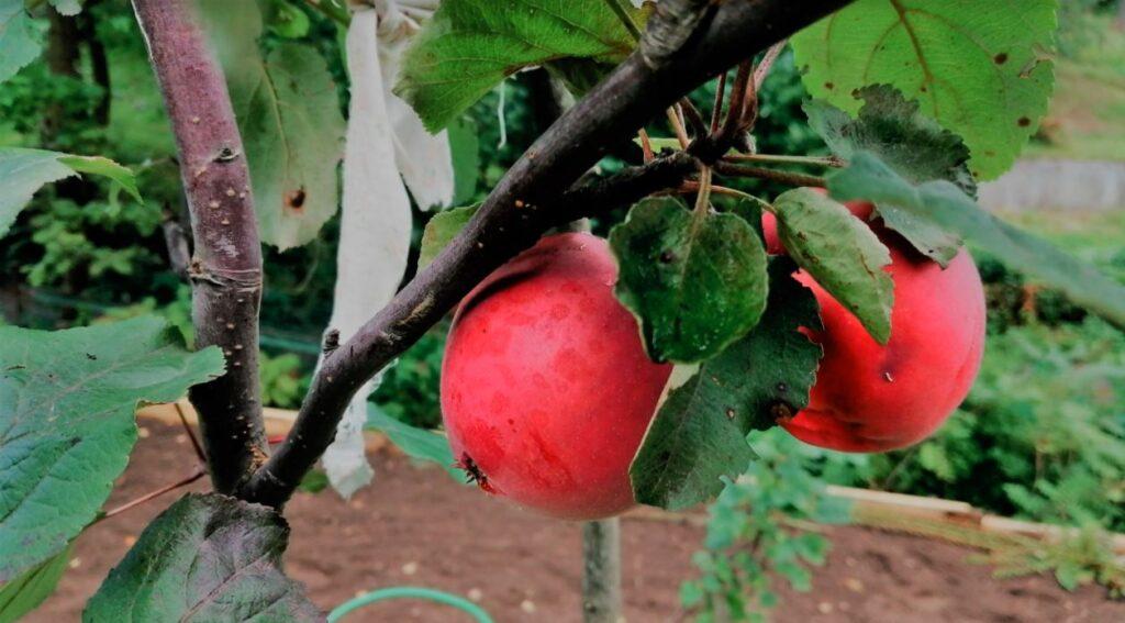 äpplen på rysk datja