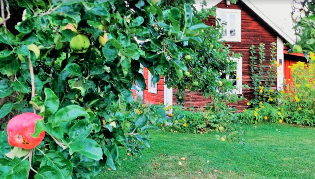 ryskt äppelträd